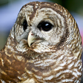 Barred owl portrait by Sandy Scott - Animals Birds ( owl portrait, birds of prey, barred owl, owl, birds, raptors,  )