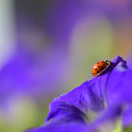 Ladybug join the sun by Niki Fernandes - Nature Up Close Gardens & Produce ( red, purple, green, ladybug, purple flower )