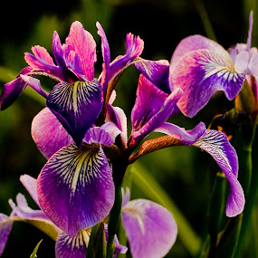 Wild Irises, Big Lake by Jonathan Wheeler - Flowers Flowers in the Wild ( wisconsin, backlight, irises, sunrise, marsh flowers )