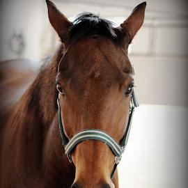 by Jo-Ann de Smit - Animals Horses (  )
