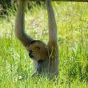 northern buffed-cheeked gibbon