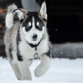 by Terri-Lyn Love - Animals - Dogs Portraits ( winter, snow, husky,  )