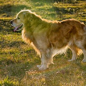 Golden retriever back light by Cristobal Garciaferro Rubio - Animals - Dogs Portraits