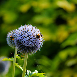 Wheres that pollen? by Andrew Barnes - Novices Only Flowers & Plants ( bees, pollen, purple, buzz, plants )