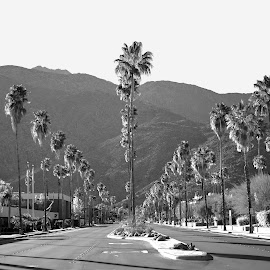 Palm Springs by Art LA - City,  Street & Park  Street Scenes ( desert, black and white, palm springs, palm trees, tahquitz canyon )