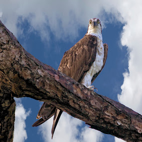 Osprey in a tree by Sandy Scott - Digital Art Animals ( birds of prey, osprey in a tree, birds, raptors, osprey,  )