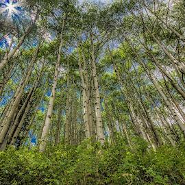 Crested Butte Aspens by Nancy Young - Landscapes Forests ( nature, 2014, crested butte, trees, forest, landscape, aspen )