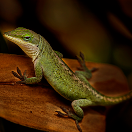 Striking A Pose by Justine Gallien - Animals Amphibians ( lizard, lively, green, amphibian, animal )