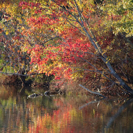Fall colors. by Sarah Thomas - Landscapes Forests