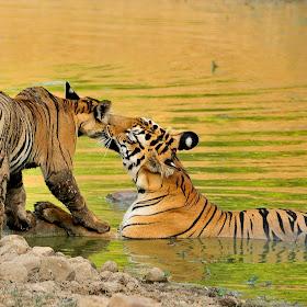 Matrishva Vyas_Panthera Tigris_Katezari,Tadoba.jpg