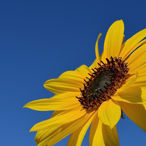 Okay You, Reach For The Sky by Ed Hanson - Flowers Flowers in the Wild ( sky, nature, blue, yellow, flower )