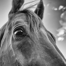The Champ by Nikki Teller - Animals Horses ( black and white, horse, horse face, horse eye,  )