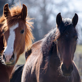 by Ovi Dacul - Animals Horses