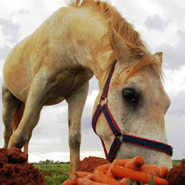 Horse eating carrots by Hrodulf Steinkampf - Animals Horses ( farm, horse, farm animal, carrots, equestrian )