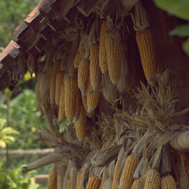 Dry Corn by Doddy Ferdiansyah - Nature Up Close Gardens & Produce ( nature, photography, corn, produce )