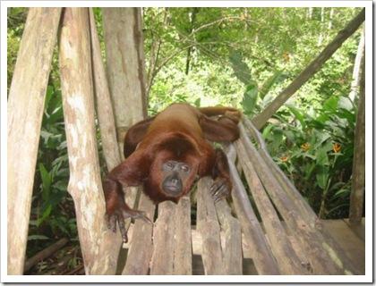 Howler resting