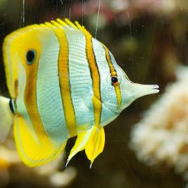 by Helen Bagley - Animals Fish ( zoo, fish, aquarium, yellow, swimming )