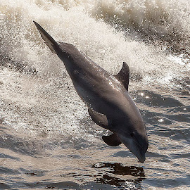 Jump for Joy by Shelley Patterson - Animals Sea Creatures ( water, dolphin, wave, alabama )