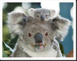Koala Baby07RAM