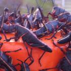 Eastern Lubber Grasshopper (nymphs)