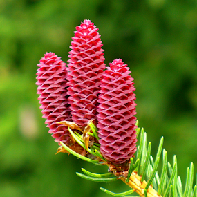 3 Red Cones Opened by Tina Dare - Nature Up Close Other plants ( 3, up close, macro, spruce, three, pine cones, norway spruce, close up, cones )