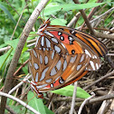 Gulf Fritillary Mating Pair
