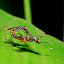 Stilt-legged Flies.