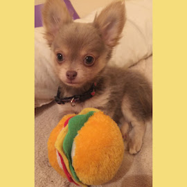 Rio with his Tofu Burger! by Paige Elizabeth - Animals - Dogs Puppies ( rio puppy tofu burger chihuahua lavender chocolate blue little cute adorable baby love mine )