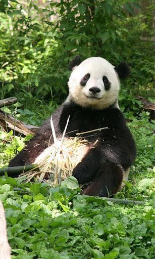 PandaWall FREE -Live Wallpaper