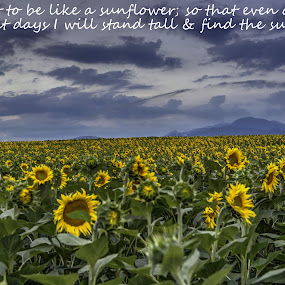 sunflower by Stratos Lales - Typography Quotes & Sentences ( clouds, mountain, sunflower, sun, fiels )