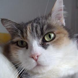 Freshly Woken Up by Kmetica Vesela - Animals - Cats Portraits ( cat, beautiful, white, brown, cute, close up, portrait, photography,  )