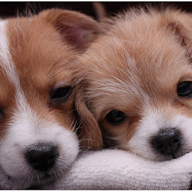 puppy love by Tom CavePhotography - Animals - Dogs Puppies (  )