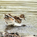 Killdeer (taking a bath in a river)
