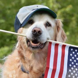 Squirt Salute to Veterans by John Clark - Animals - Dogs Portraits ( #goldenretriever, #flag,  )