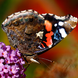 by Eva Løken - Novices Only Macro ( butterfly, macro, colorful, nature up close )