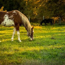 Horses of the Golden Hour by Darin Mellor - Animals Horses ( iowa, animals, horses, 2014, farms, wildlife, fall 2014 )