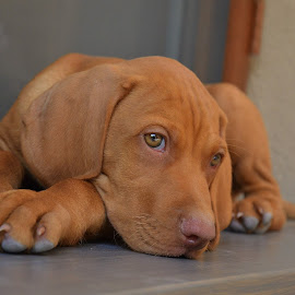 Hungarian Vizsla by Jojo Pried-Horsky - Animals - Dogs Puppies ( baby, young, animal,  )