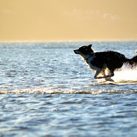 running on water by Mariska Brink - Animals - Dogs Running ( border collie )