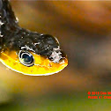Yellow-bellied or olive whip snake
