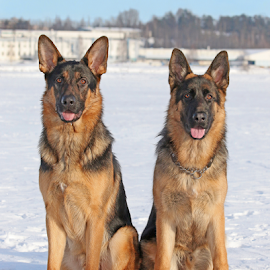 Brandi and Miki by Mia Ikonen - Animals - Dogs Portraits ( obedient, sitting, finland, noble, german shepherd )