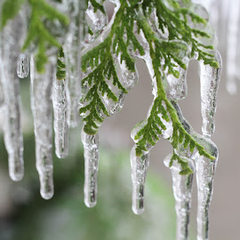 by Linda Pickrell - Nature Up Close Leaves & Grasses ( linda pickrell, icy, nature, ice, icicles, cedar, leaf, close up )
