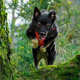 Jumping dog by Jenny Trigg - Animals - Dogs Running ( akita, running dog, jumping dog, husky, german shepherd )