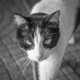 Cat by Brent Gudenschwager - Animals - Cats Portraits ( cat, black and white, whiskers, portrait, eyes )