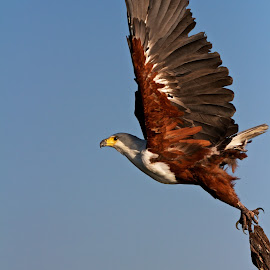 African Fish Eagle by John Mcloughlin Wildlife Photography - Animals Birds ( john mcloughlin wildlife photographer,  )