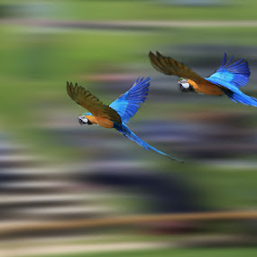 Flying Parrots by Ceri Jones - Animals Birds ( flying, parrots, blur, motion )