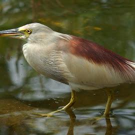 Night heron by Wasee Hasan - Animals Birds