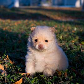 Pomerian baby by Sergio Yorick - Animals - Dogs Puppies ( grass, puppy, dog, portrait, animal,  )