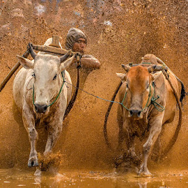 Pacu Jawi by Mediia Hendriko - Sports & Fitness Rodeo/Bull Riding ( fitness, news, events, sports, culture, cows )