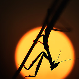 Be a light or block the light to become a Hero by Nithesh Kumar - Uncategorized All Uncategorized ( #silhouette #sunset #insect #wildlife #sun #evening,  )