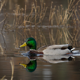 Peaceful Marsh Duck by Mike Trahan - Animals Birds ( bird, nature, mallard, marsh, volo bog )